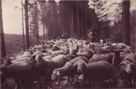 Haag Schafe in der Au undatiert